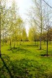 Callejón con los árboles de abedul jovenes en un parque Imágenes de archivo libres de regalías