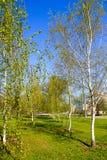 Callejón con los árboles de abedul jovenes en un parque Imagen de archivo