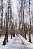 Callejón congelado en bosque del abedul Imagenes de archivo