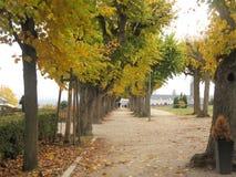 Callejón de árboles amarillos fotografía de archivo libre de regalías