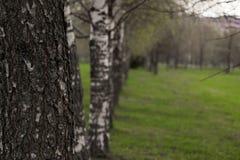 Callejón de abedules Árboles de abedul en Bielorrusia Árboles hermosos en Fotos de archivo libres de regalías