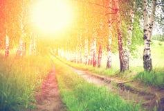 Callejón de abedules verdes en la puesta del sol Imágenes de archivo libres de regalías