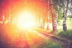 Callejón de abedules verdes en la salida del sol Imagenes de archivo