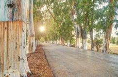 Callejón de Eucaliptus en la puesta del sol imagenes de archivo