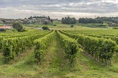 Callejón de la uva del verde de Wineyard en Trento Italia imágenes de archivo libres de regalías