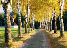 Callejón de los árboles de abedul Fotografía de archivo libre de regalías