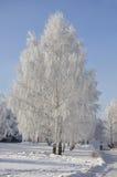 Callejón de los árboles de abedul del invierno Imagen de archivo