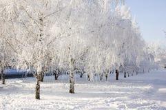 Callejón de los árboles de abedul del invierno Imagenes de archivo
