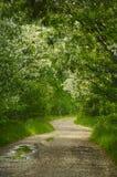 Callejón de los árboles florecientes del acacia en la primavera Foto de archivo libre de regalías