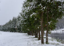 callejón de los árboles verdes cubiertos con la nieve y la trayectoria que retroceden en la distancia imagenes de archivo