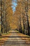 Callejón de los abedules del otoño Foto de archivo libre de regalías