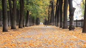 Callejón de oro colorido en el parque del otoño Ala de la toma de las palomas El grupo de amigos, cayendo se va en borroso abstra almacen de metraje de vídeo