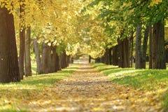 Callejón de oro del tilo del otoño en ciudad con las hojas caidas Imágenes de archivo libres de regalías