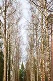 Callejón del árbol de abedul en el bosque de la primavera fotografía de archivo libre de regalías