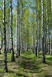 callejón del Abedul-árbol Imagenes de archivo