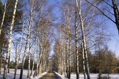 Callejón del abedul del invierno en un parque de la ciudad Imagenes de archivo