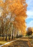 Callejón del abedul del otoño Imagenes de archivo
