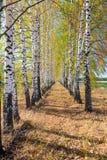 Callejón del abedul del otoño en un día soleado Foto de archivo