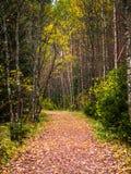 Callejón del abedul en Autumn Day frío Imagenes de archivo