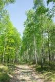 Callejón del abedul en bosque del verano Imagen de archivo libre de regalías