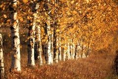 Callejón del abedul en el otoño Rusia Fotos de archivo libres de regalías