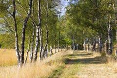 Callejón del abedul en el parque nacional Hoge Veluwe, Países Bajos Foto de archivo libre de regalías
