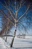 Callejón del abedul en invierno Foto de archivo libre de regalías