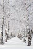 Callejón del abedul en invierno Foto de archivo