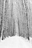 Callejón del abedul en invierno Fotos de archivo libres de regalías