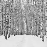 Callejón del abedul en invierno Imagenes de archivo