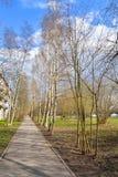Callejón del abedul en la primavera Foto de archivo
