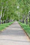 Callejón del abedul en parque Imagen de archivo libre de regalías