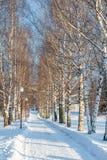 Callejón del abedul en un parque del invierno Imágenes de archivo libres de regalías