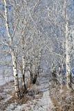 Abedul en febrero Imagen de archivo