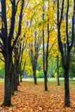 Callejón del arce en el parque soleado del otoño Foto de archivo libre de regalías