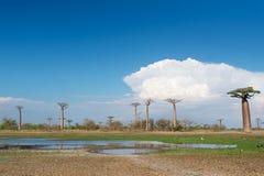 Callejón del baobab - Madagascar Imágenes de archivo libres de regalías