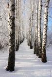 Callejón del invierno del abedul Imagen de archivo