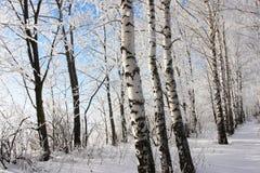 Callejón del invierno del abedul. Fotografía de archivo libre de regalías
