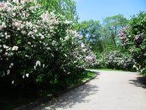 Callejón del parque botánico con los arbustos de lila, naturaleza, verdes, plantas verdes imagen de archivo