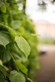 Callejón en el jardín del verano del parque, StPetersburg, Rusia Fotos de archivo libres de regalías