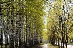 Callejón en parque de la ciudad Árboles con follaje joven en primavera temprana Foto de archivo libre de regalías