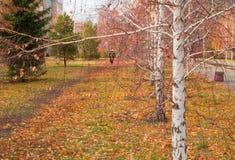 Callejón hermoso con las hojas caidas, foco selectivo del abedul del otoño Imagenes de archivo