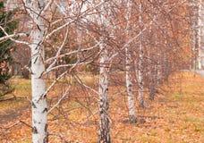 Callejón hermoso con las hojas caidas, foco selectivo del abedul del otoño Imagen de archivo
