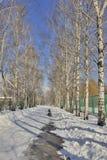 Callejón hermoso del abedul en parque del invierno Fotografía de archivo