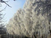 Callejón nevado del abedul Imagen de archivo