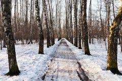 Callejón Nevado en bosque del abedul Imagen de archivo