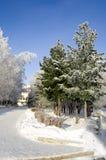 Callejón spruce de los árboles del invierno Fotografía de archivo