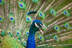 Caller Peacock Royalty Free Stock Image