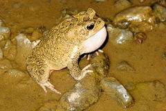 Callers male toads  Amietophrynus mauritanicus river Morocco. One Callers male toads  Amietophrynus mauritanicus river Morocco Stock Images