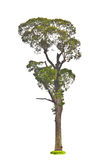 Callerya atropurpurea Benth Tree.(Millettia atropurpurea (Wall. Stock Images